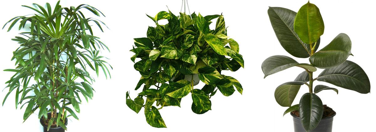 Plantas beneficiosas y descontaminantes del aire de tu - Enredaderas de interior ...